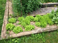 Real picture of my garden: One HALF of lettuce section